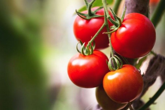 Where are Tomatoes Grown