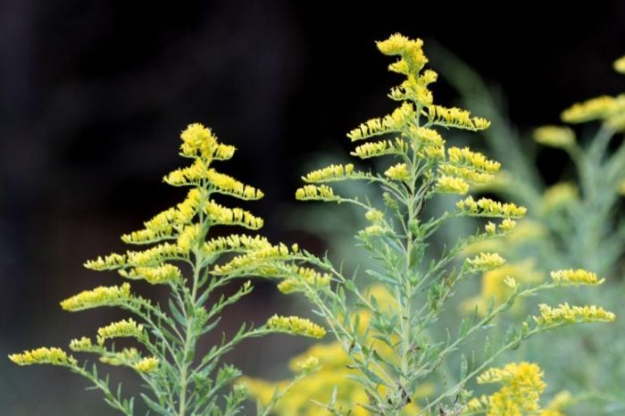 Benefits of Goldenrod Essential oil