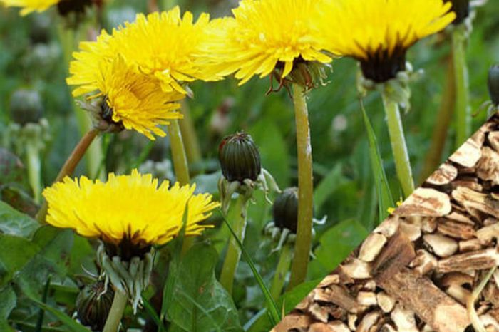 Dandelion Root Herbs for Kidney Failure